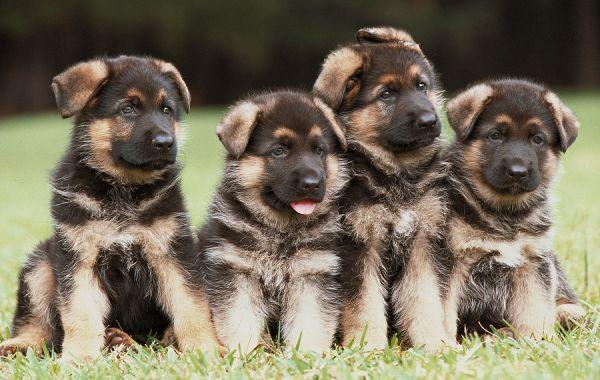Home Vanburen Shepherds