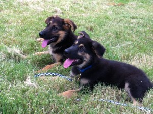 German Shepherd puppies smiling