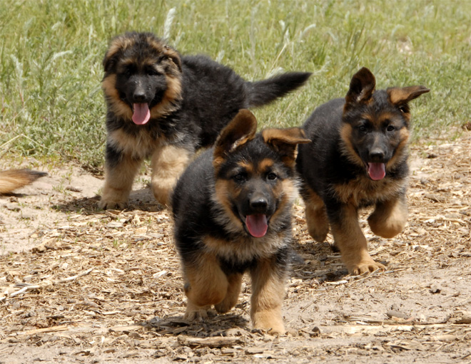 German shepherds running. German Shepherd breeder in Abilene, TX. 325-660-9142