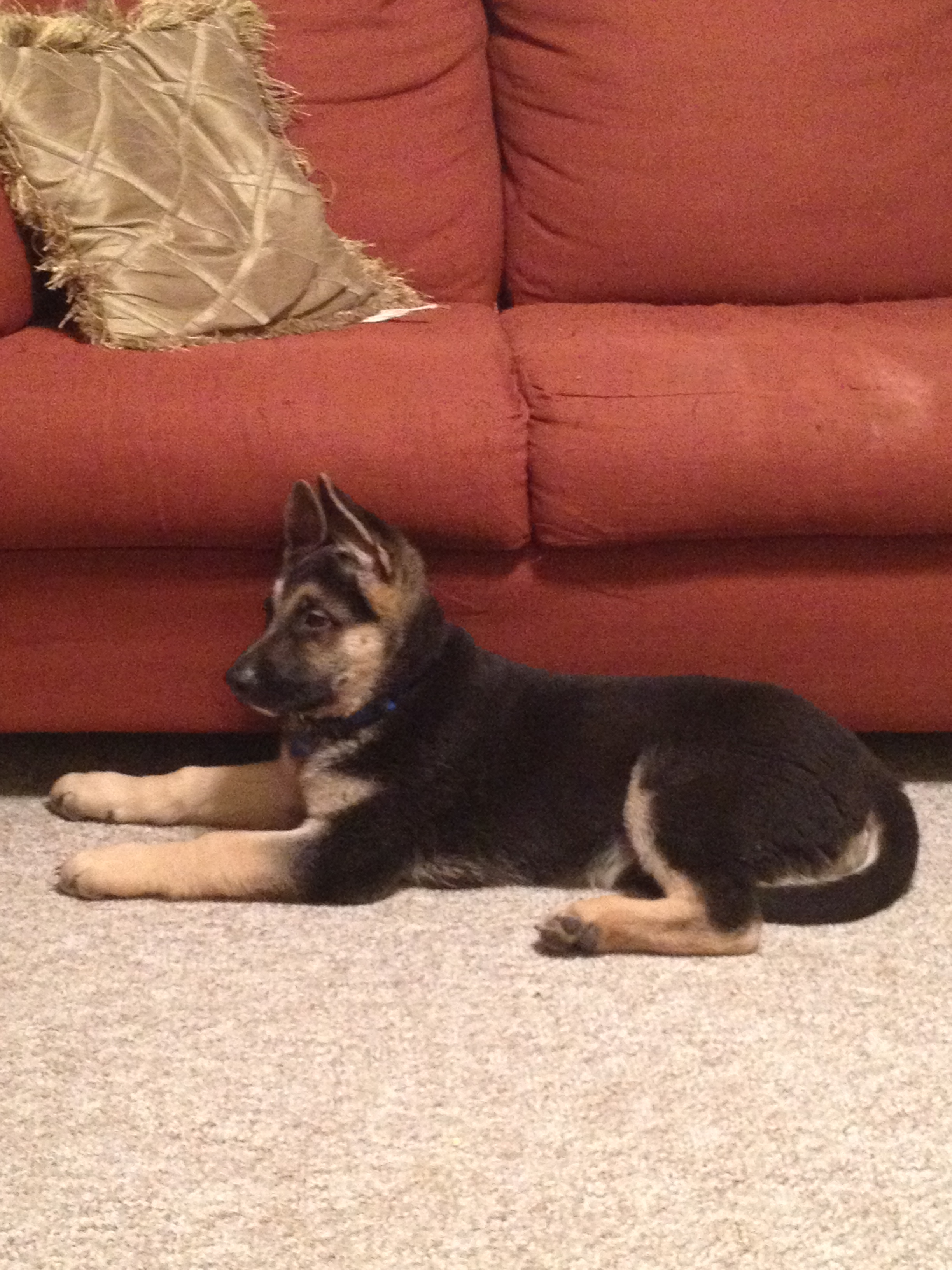 German Shepherd's Ears Not Standing Up! What Can I Do?