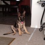 German shepherd puppies abilene tx