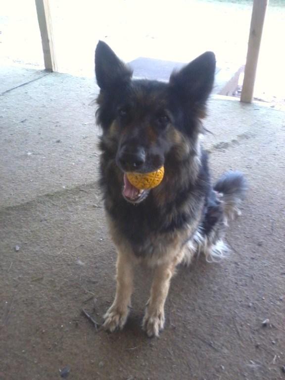 German shepherd rescue in Abilene, TX. vanBuren Shepherds. 325-660-942