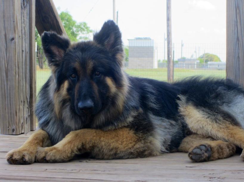 German shepherd rescue in Abilene, TX. vanBuren Shepherds. 325-660-9142